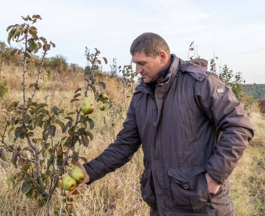 How to Grow Pears in Moldova. In the Orchard of Famer Mihai Gorgos